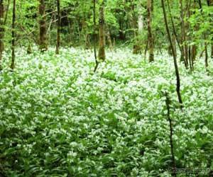 Le tapis de fleurs dans la forêt d'Epagne
