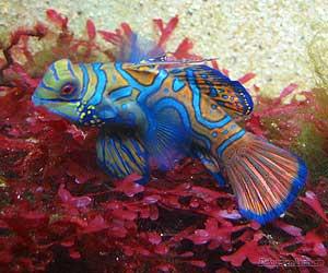 Poisson Cachemire - Aquarium du Limousin