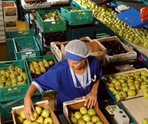 Coopérative fruitière, préparation des pommes