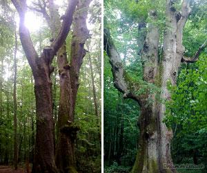 Les chênes jumeaux et le chêne sentinelle