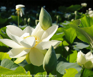 Fleurs de lotus de l'arboretum Al Gaulhia