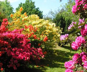 Azallées en fleurs dans les massifs du jardin