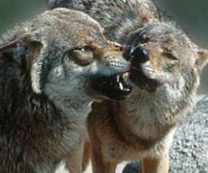 Loups du parc