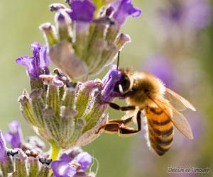 Une abeille en train de butiner...